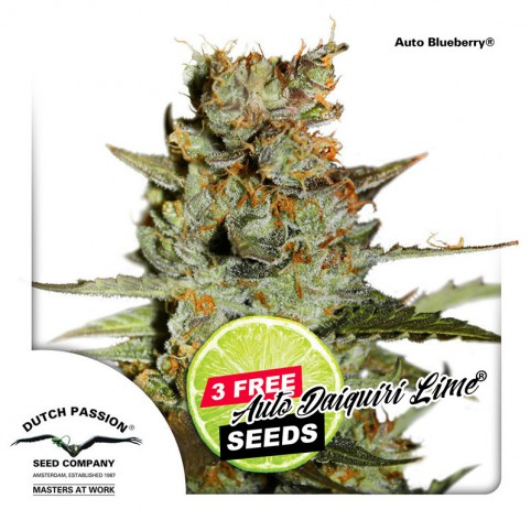 Auto Blueberry - Cannabis Seeds