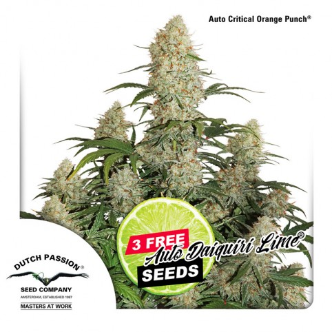 Auto Critical Orange Punch - Cannabis Seeds