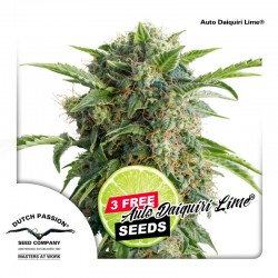 Auto Daiquiri Lime - Cannabis Seeds