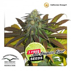 Californian Orange - Cannabis Seeds
