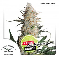 Critical Orange Punch - Cannabis Seeds