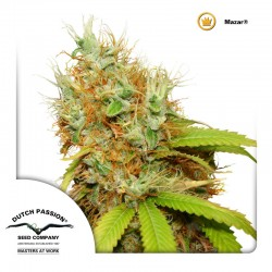 Mazar Cannabis Seeds
