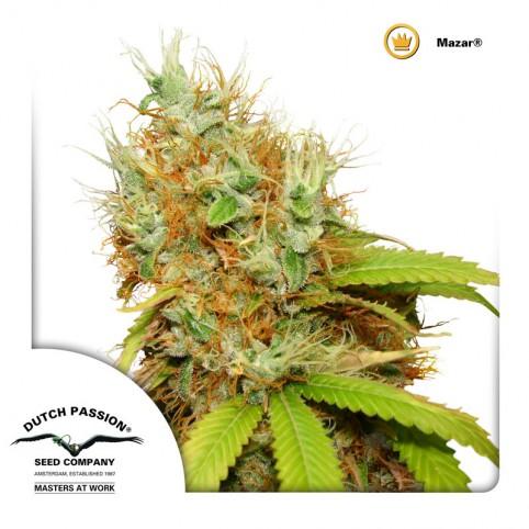 Mazar Cannabis Seeds