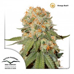 Orange Bud - Cannabis Seeds