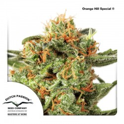 Orange Hill Special Dutch Passion