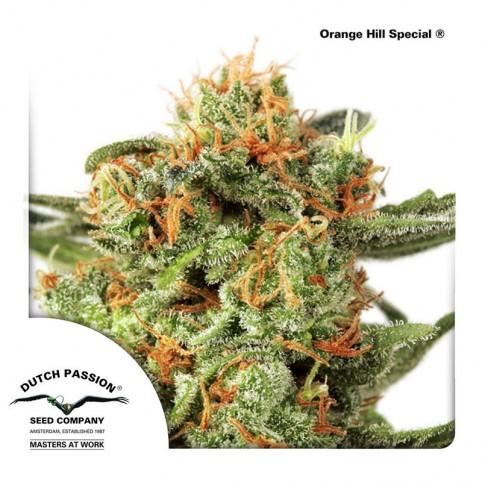 Orange Hill Special Dutch Passion