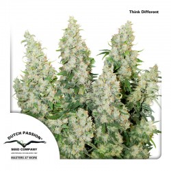 Think Different - Cannabis Seeds - Dutch Passion
