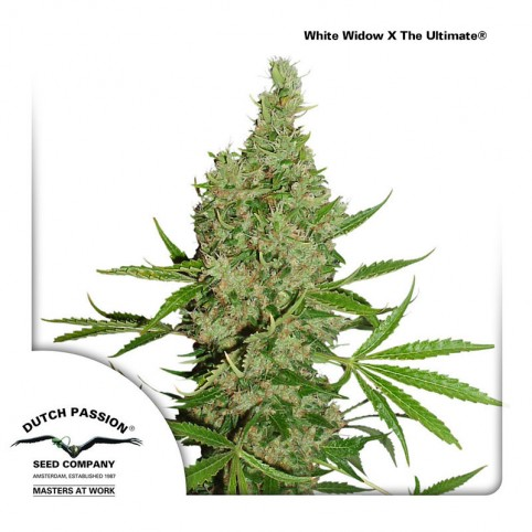 White Widow x The Ultimate Dutch Passion