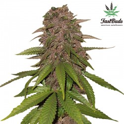 C4-Matic Cannabis Seeds