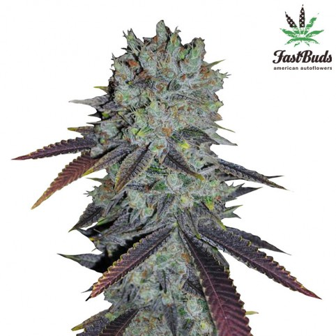 Fastberry Cannabis Seeds