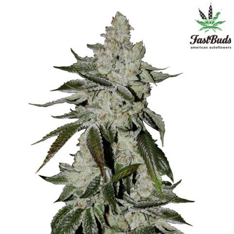 Girl Scout Cookies - Marijuana Seeds