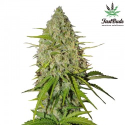 Grapefruit'matic Cannabis Seeds