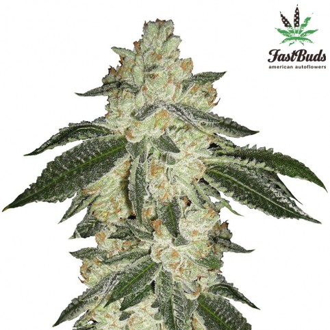 Green Crack Cannabis Seeds