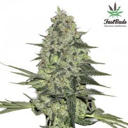 Rhino Ryder Cannabis Seeds