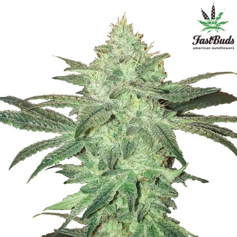 Stardawg - Marijuana Seeds - Fast Buds