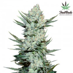 Tangie'matic - Cannabis Seeds - Fast Buds