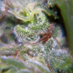 Neville's Haze Female Seeds