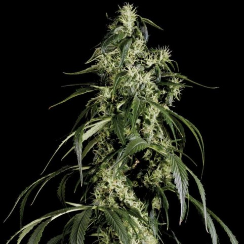 Arjan's Haze #1 Cannabis Seeds