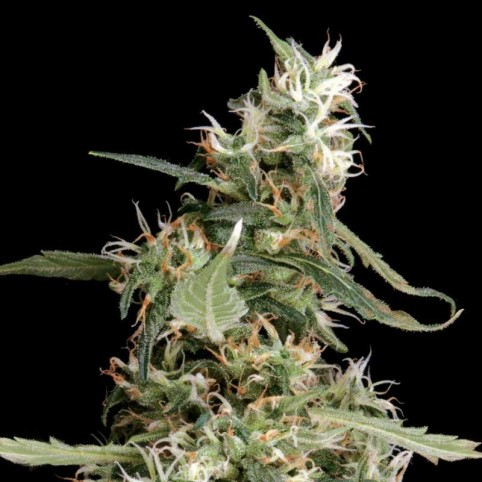 Arjan's Ultra Haze #1 Cannabis Seeds