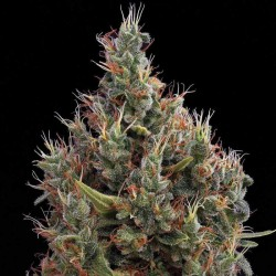 Big Bang Automatic Cannabis Seeds