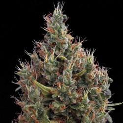 Big Bang Automatic Cannabis Seeds