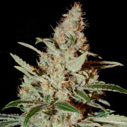 Chemdog Cannabis Seeds