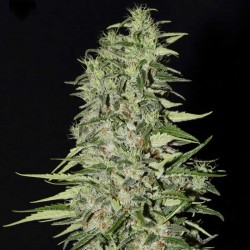 Diamond Girl Cannabis Seeds