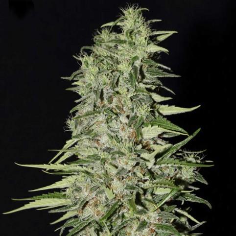 Diamond Girl Cannabis Seeds