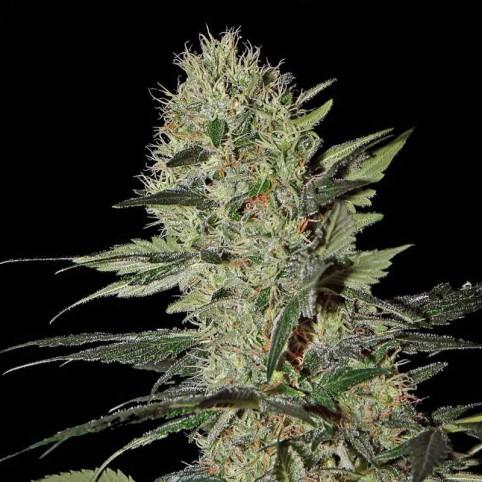 Exodus Cheese Auto Cannabis Seeds