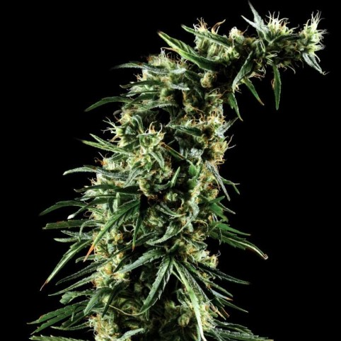 Hawaiian Snow Cannabis Seeds