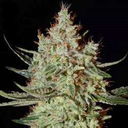 K-Train Cannabis Seeds