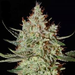 K-Train Cannabis Seeds