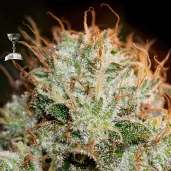 Kaia Kush Cannabis Seeds