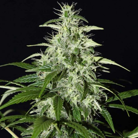 Kalashnikova Automatic Cannabis Seeds