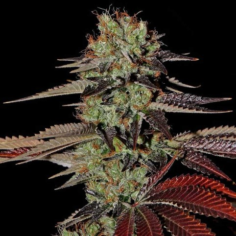 Kings Kush Auto Cannabis Seeds