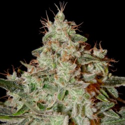 Lemon Skunk Cannabis Seeds