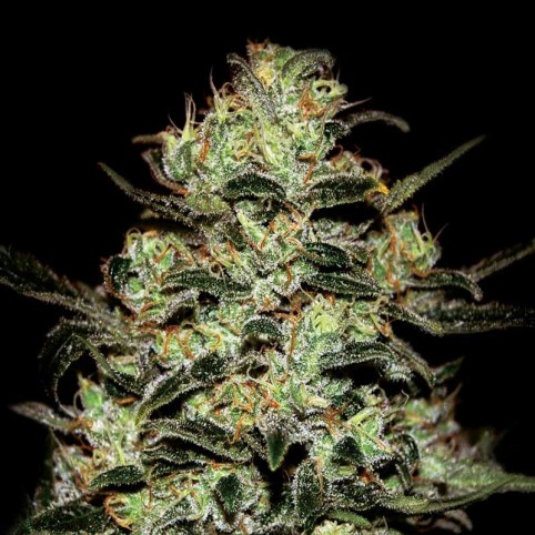 Moby Dick Cannabis Seeds