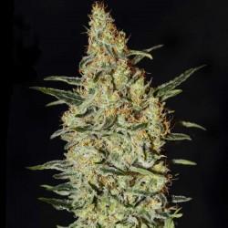 Neville's Haze Cannabis Seeds