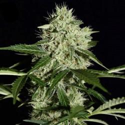 NL Automatic Cannabis Seeds