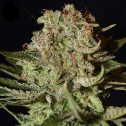 Super Bud Cannabis Seeds