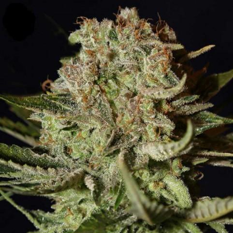 Super Bud Cannabis Seeds