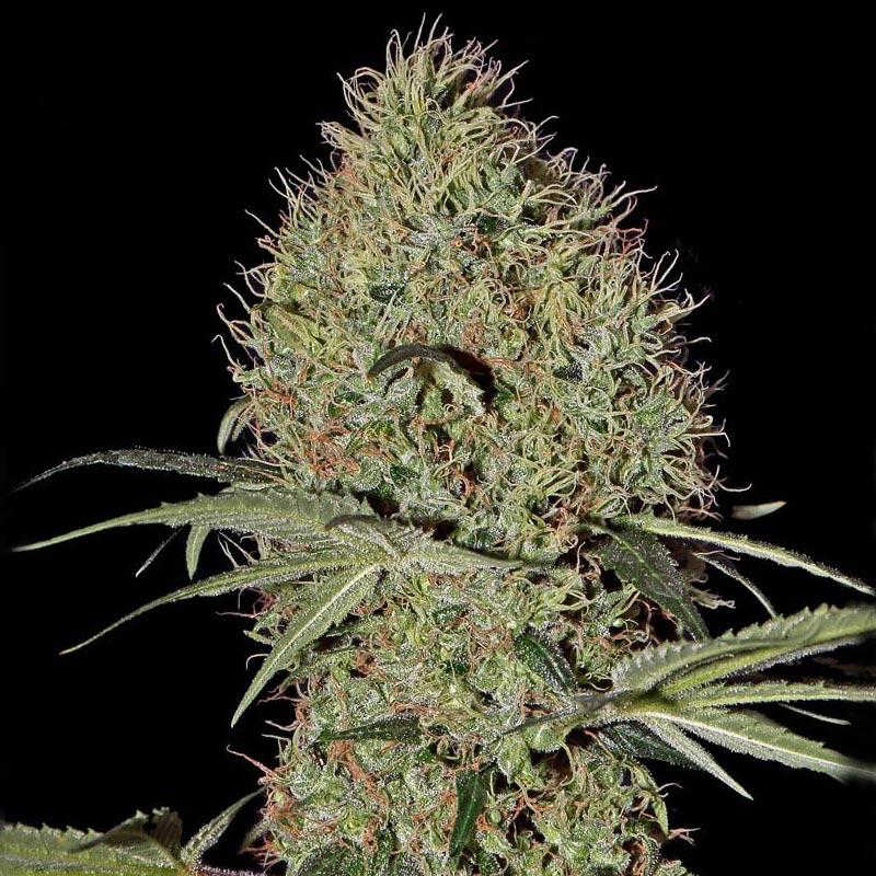 Конопли высокорослые семена про марихуану демотиватор