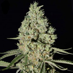 Super Critical Cannabis Seeds