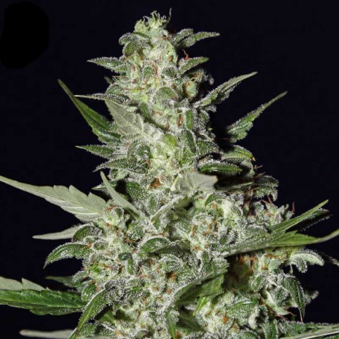 Super critical Automatic Cannabis Seeds