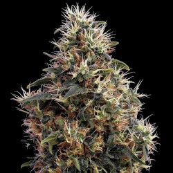 Sweet Mango Auto Cannabis Seeds