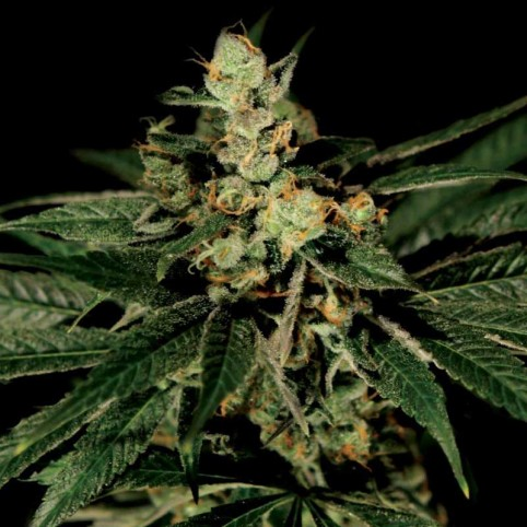 Train Wreck Cannabis Seeds