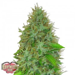 2 Fast 2 Vast Auto Cannabis Seeds