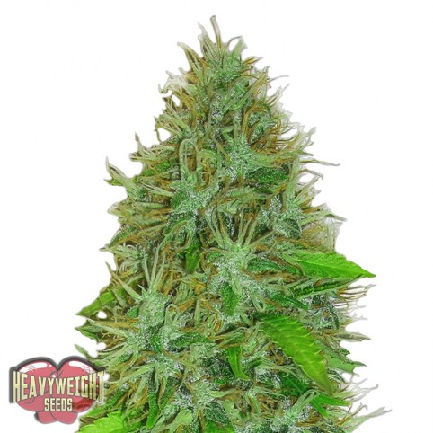 2 Fast 2 Vast Auto - Cannabis Seeds