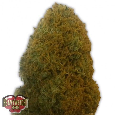 Champion - Cannabis Seeds