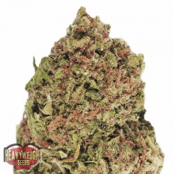 Dream Machine Cannabis Seeds